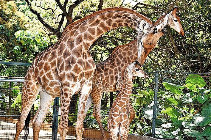 昨日,记者从深圳野生动物园获悉,该园非洲之角长颈鹿家族又增添了一只长颈鹿宝宝。目前小长颈鹿长势喜人,发育良好。这是该园长颈鹿家族从2016年5月至2017年8月先后出生7只小长颈鹿后,新添的第8只长颈鹿宝宝。这只长颈鹿宝宝是个男孩。母子俩在运动场里相处得特别亲密,妈妈时时观察着宝宝的一举一动,生怕它发生意外。 宝安日报记者 张小葵 通讯员 李木生 摄