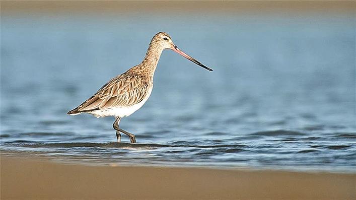 新西兰一候鸟创鸟类 不间断飞行最长纪录